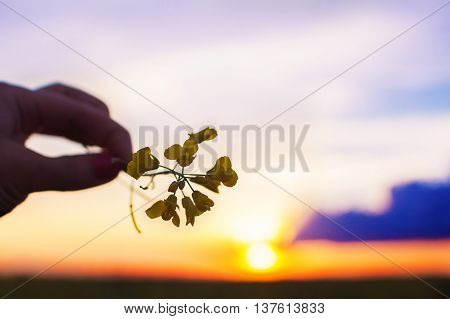 the sun at sunset through a flower. girl's hand holding a colza