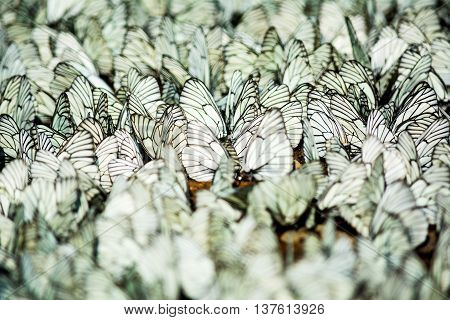 Rows of sitting white and black striped butterflies selective focus. Butterfly background. Butterfly pattern.