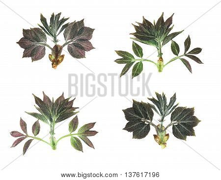 Pressed and dried leaves and shoots of elderberries on a white background. For use in scrapbooking floristry (oshibana) or herbarium.