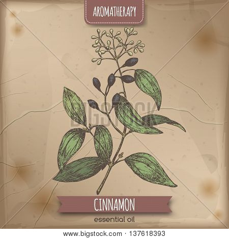 Cinnamomum verum aka cinnamon vintage color sketch. Placed on old paper background. Aromatherapy series. Great for traditional medicine, perfume design, cooking or gardening.