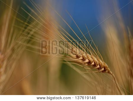 Wheat spike isolated with  foreground and background out of focus