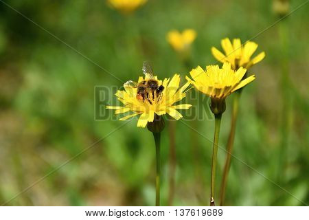 A bee pollinates a yellow flower in a meadow.