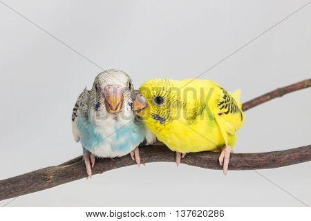 Chick Budgie, Budgarigar Bird Chick