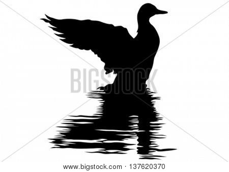 Duck sitting on water on a white background