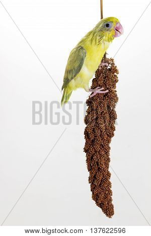 Forpus Chick Eating Millet Spray