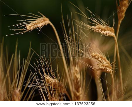 Wheat field with spikes in foreground and ready to harvest in early summer