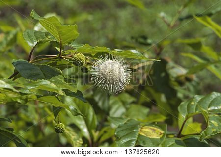 White Button Bush Wildflower  Cephalanthus Occidentalis Wildflower