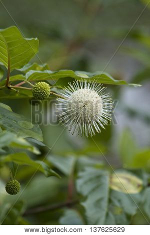 White Button Bush Wildflower  Cephalanthus Occidentalis Wildflowers