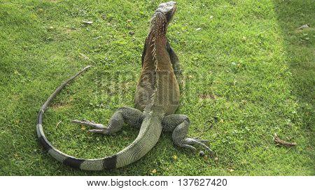 A large iguana sitting in the grass on St. John island.