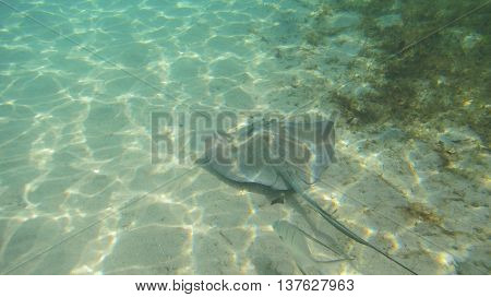 A stingray at the bottom af a shallow bay swimming in the sand.