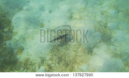A stingray on the bottom of a shallow beach.
