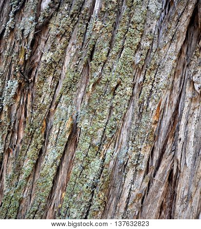 texture of a n old foetid juniper tree on an island golem grad lake prespa macedonia