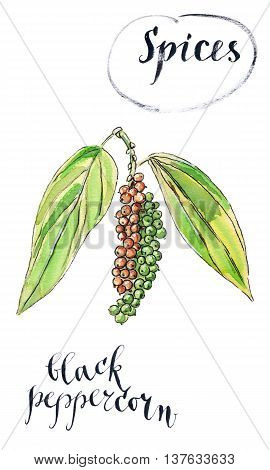 Ripe black peppercorn on a branch hand drawn - watercolor Illustration