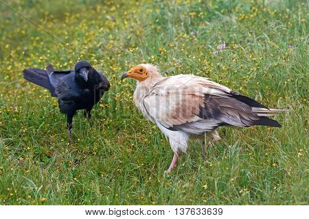 Egyptian vulture (Neophron percnopterus) standing next to a common raven in vegetation
