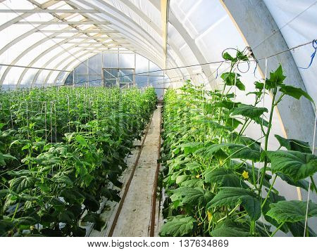 Long rows of cucumber vines to grow vertically in the greenhouse