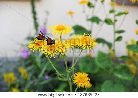 Colorful butterflies sitting on yellow blooming flowers