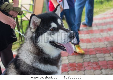 Street portrait of gorgeous Alaskan Malamute .