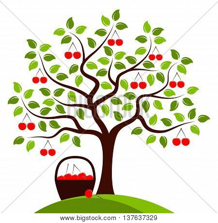 vector cherry tree and basket of cherries isolated on white background
