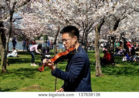 Washington DC - April 10 2014: Chinese violinist performing in a grove of cherry trees at peak bloom next to the Tidal Basin