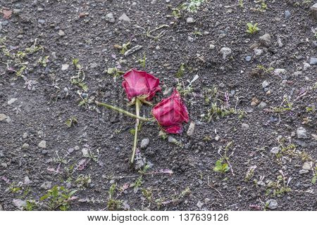 High angle view of two red roses laying on the ground