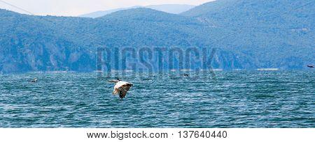 Picture of a Dalmatian Pelican Pelecanus crispus in flight.lake prespa, macedonia