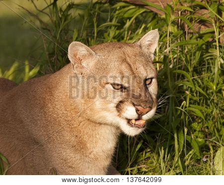 Unhappy Snarling Cougar in the heavy underbrush