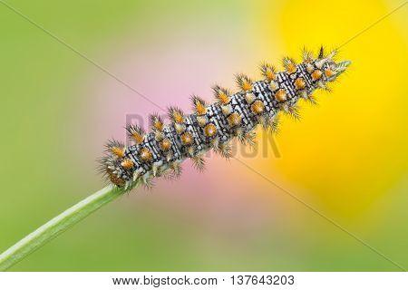 Melitaea Didyma Caterpillar