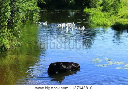 black cow washes in the river with flight of domestic geese. Rural landscape with cow washing in the river
