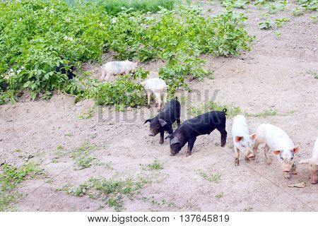 pigs dig in the garden with potatoes in the village