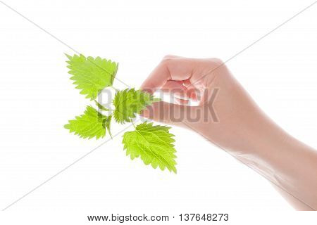 Female hand holding stinging nettle isolated on white background. Natural alternative medicine.
