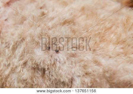 Closeup Of Mite And Fleas Infected On Dog Fur Skin