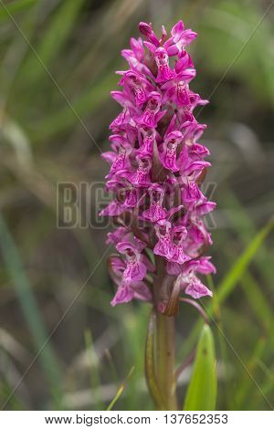 Early Marsh Orchid (Dactylorhiza incarnata ssp coccinea) flowering in a Dune Valley