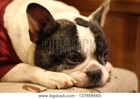 Our pet, a French Bulldog, feeling bored