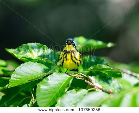 The Magnolia Warbler is a handsome and familiar warbler of the northern forests. It migrates to the boreal forests of Quebec Canada in summer where it nests and returns south for the winter.