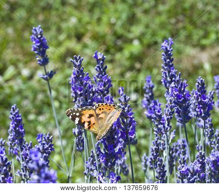 Butterfly Pollination Lavender Flower on the field