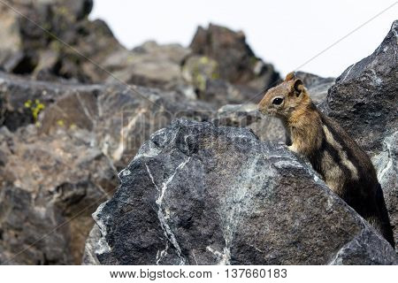 A little chipmunk hidden behind the rocks