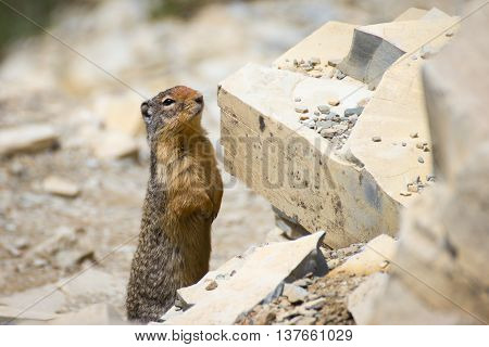 Rodent encounter along Crypt Lake Trail, Waterton Lakes National Park