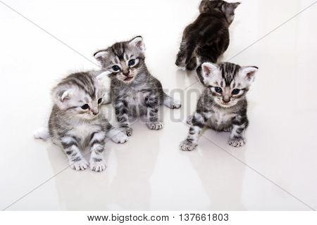 Cute American shorthair cat kitten were discussion