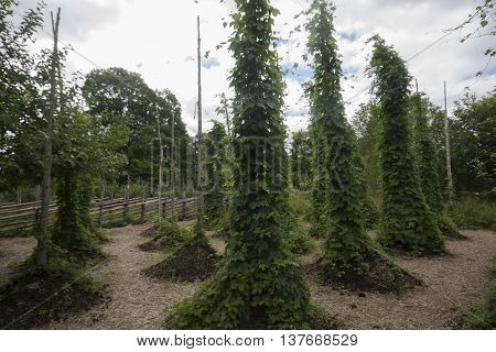 a hopyard for the production of strobiles for beer