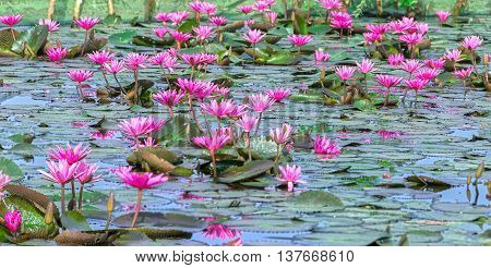Lakeside water lily blooming season with beautiful purple flowers, below large green leaves covers pond early sunshine great, they both beauty made feeding people food in rural Vietnam