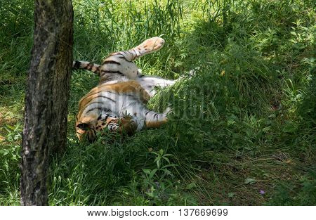 Tiger lying on his back in the thick undergrowth in the forest