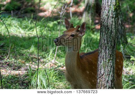 Female deer looking towards the back of the tree