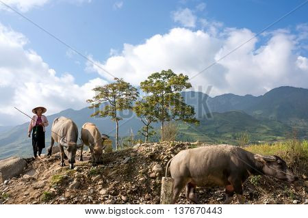 YEN BAI, Vietnam, June 13, 2016 ethnic Hmong woman, highland Yen Bai, raising buffalo, side streams, which fields terraced rice fields