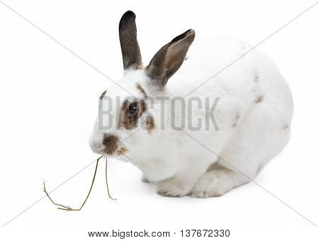 Rabbit bunny eating pangola grass isolated on white feeding food domestic pet