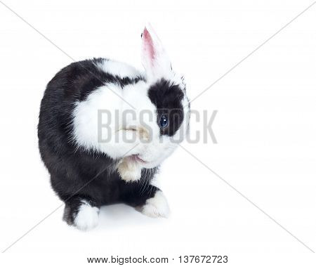 rabbit bunny clean itself isolated on white