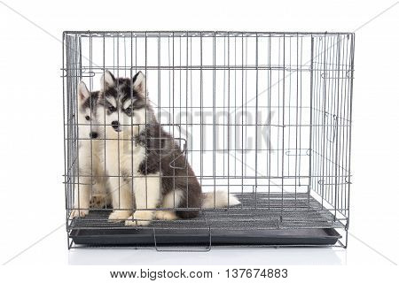 Cute siberian husky puppies in the cage on white backgroundisolated