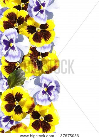 Beautiful floral background with white flowers and yellow viola