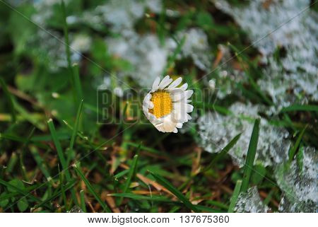 Small flower breaks through the cold snow of early spring