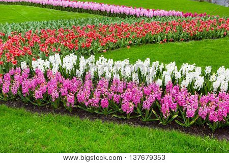 Colorful hyacinth and tulips flowers blossom in Holland spring garden