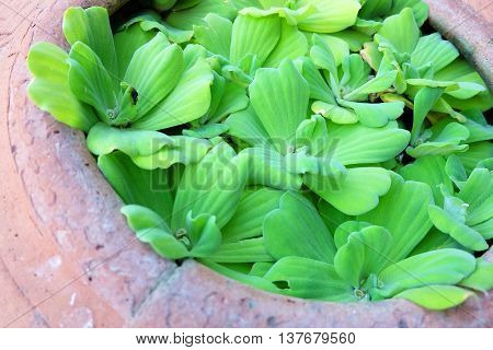 water lettuce in terracotta , abstract natural